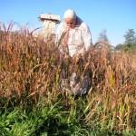 Getreideernte im Frühmittelalter
