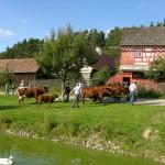 Kühe werden von der Weide geholt