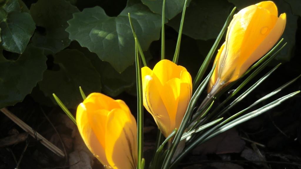 Krokus - So leuchtet der Frühling