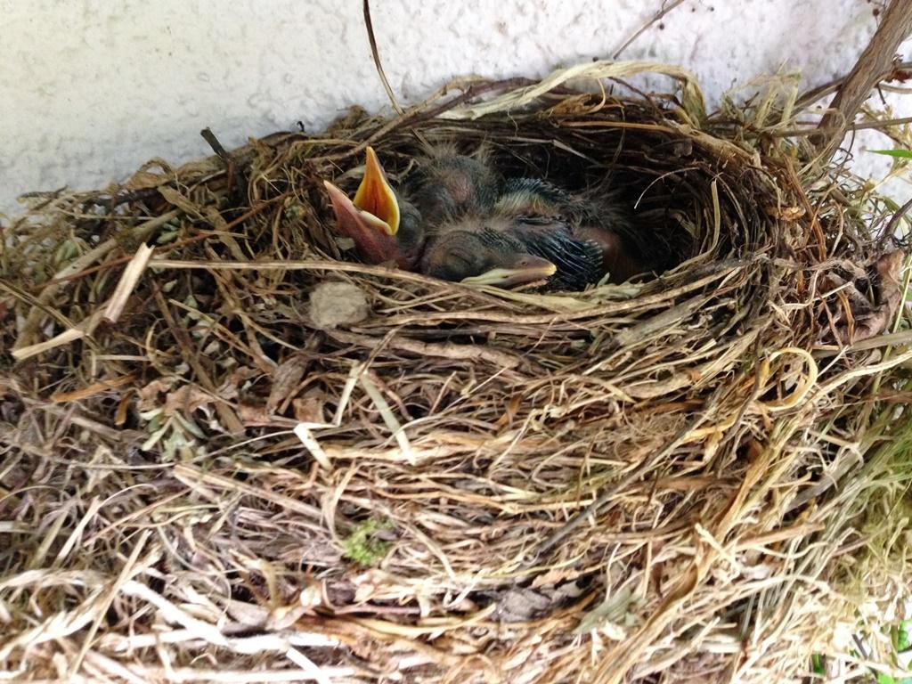 Vögel im Nest 1