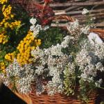 Kräuterkorb der Färberinnen