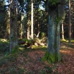 Grenzwald auf dem Weg zum Havran