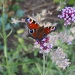 Schmetterling im Fischhofpark
