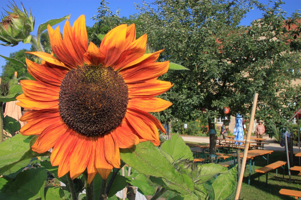 Sonnenblume Naturerlebnisgarten Waldsassen