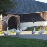 Gänsefamilie - Freilandmuseum Neusath - Perschen