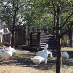 Gänse im Bauerngarten